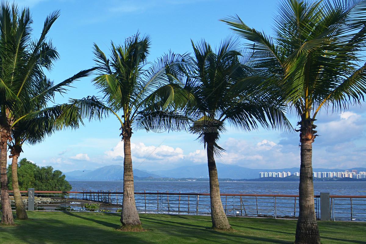 海边椰子树