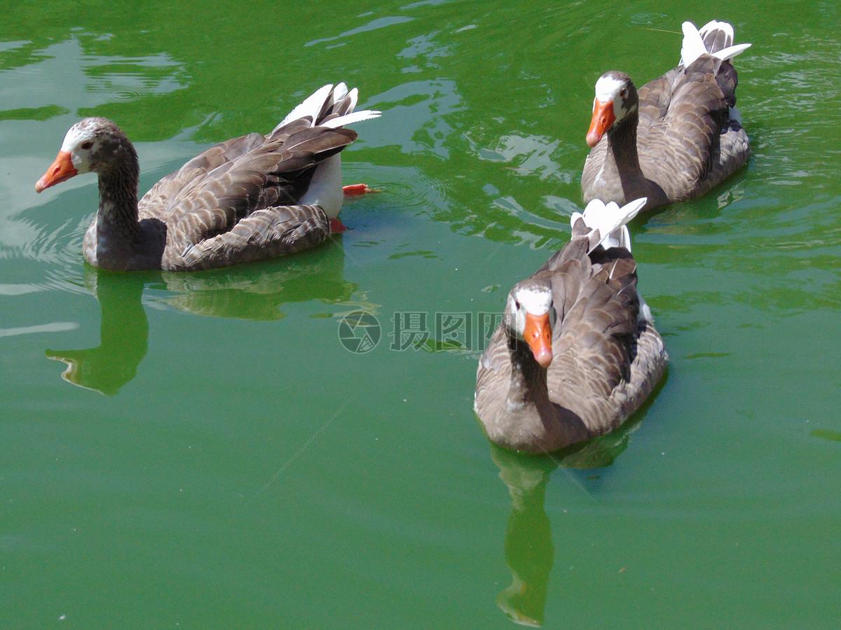 鸭子水中游摄影图片免费下载_动物图库大全_编号-摄