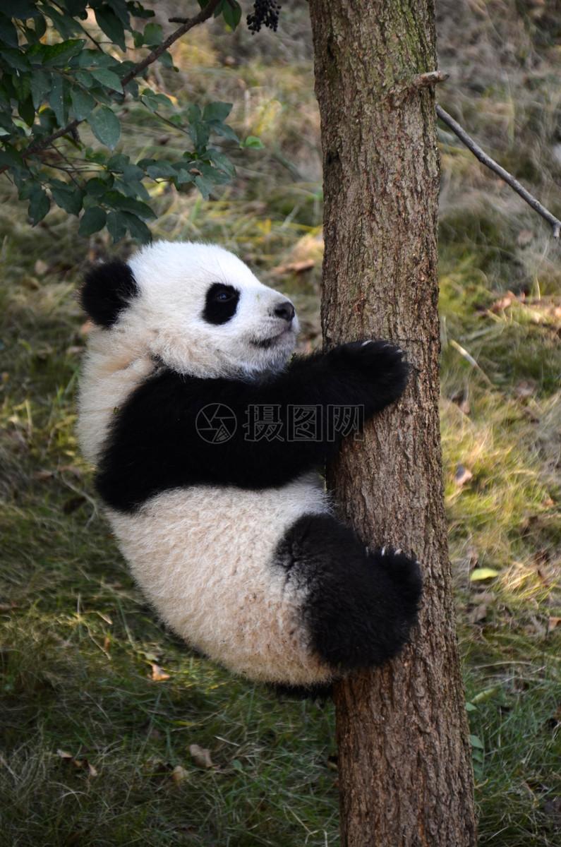 熊猫摄影图片免费下载_动物图库大全_编号500600078