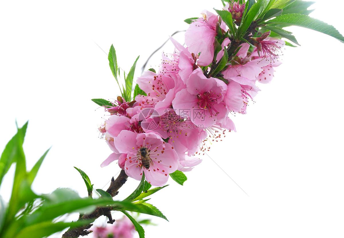 春天里在桃花上采蜜的蜜蜂
