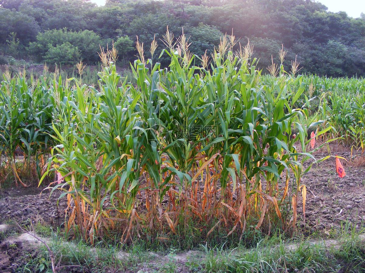 唯美图片 自然风景 玉米jpg  分享: qq好友 微信朋友圈 qq空间 新浪