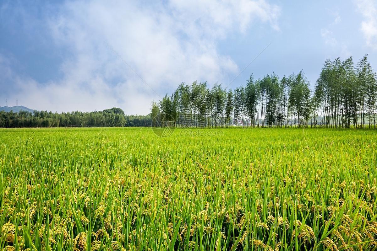 唯美图片 自然风景 丰收的稻田jpg