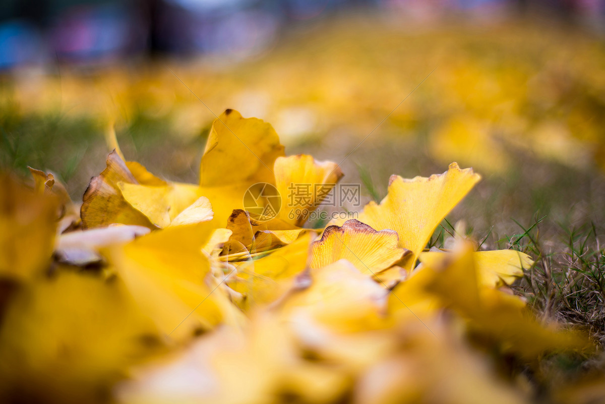 秋天金黄色的银杏树叶图片