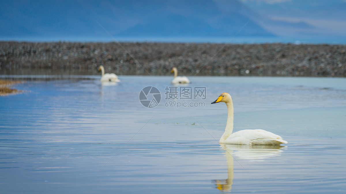 唯美图片 自然风景 新疆赛里木湖天鹅jpg  分享: qq好友 微信朋友圈