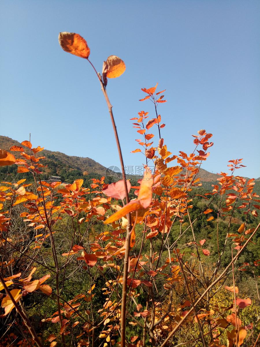 唯美图片 自然风景 香山的红叶jpg  分享: qq好友 微信朋友圈 qq空间