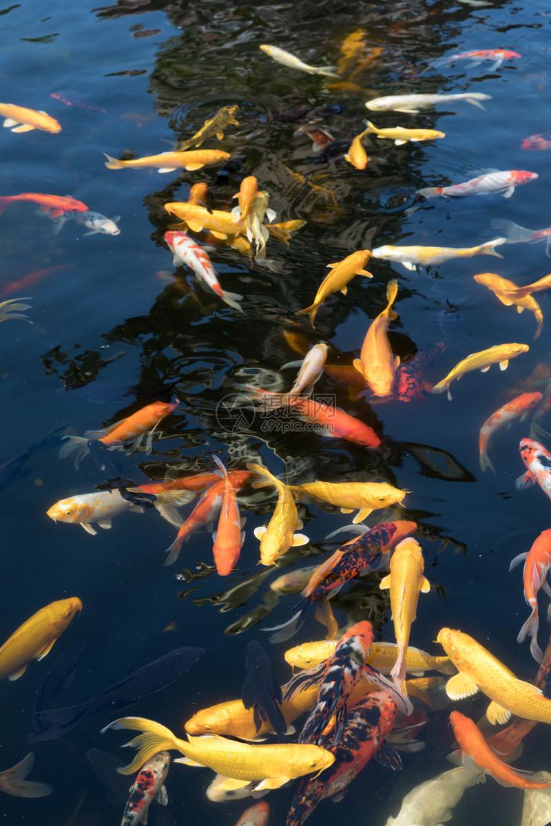 图片 照片 自然风景 池塘里的锦鲤鱼.jpg
