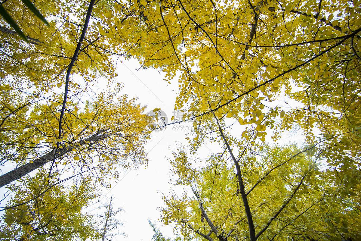 唯美图片 自然风景 深秋初冬的银杏树jpg  分享: qq好友 微信朋友圈
