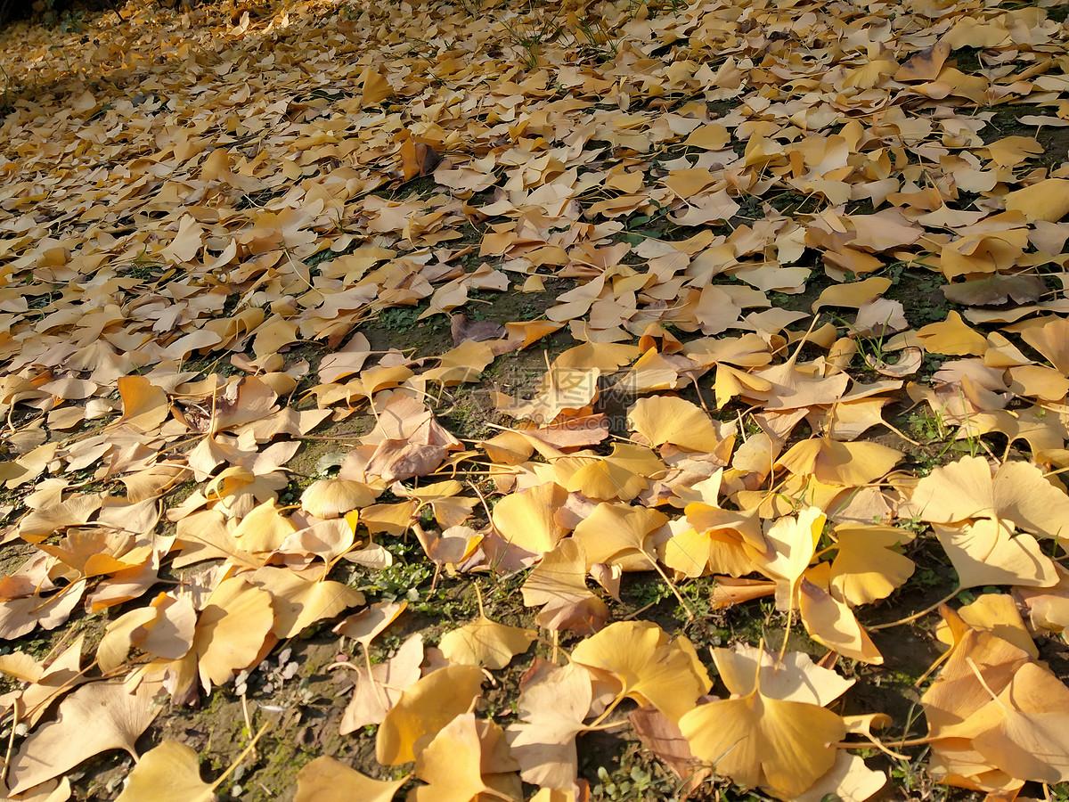 银杏树落叶图片素材_免费下载_jpg图片格式_vrf高清