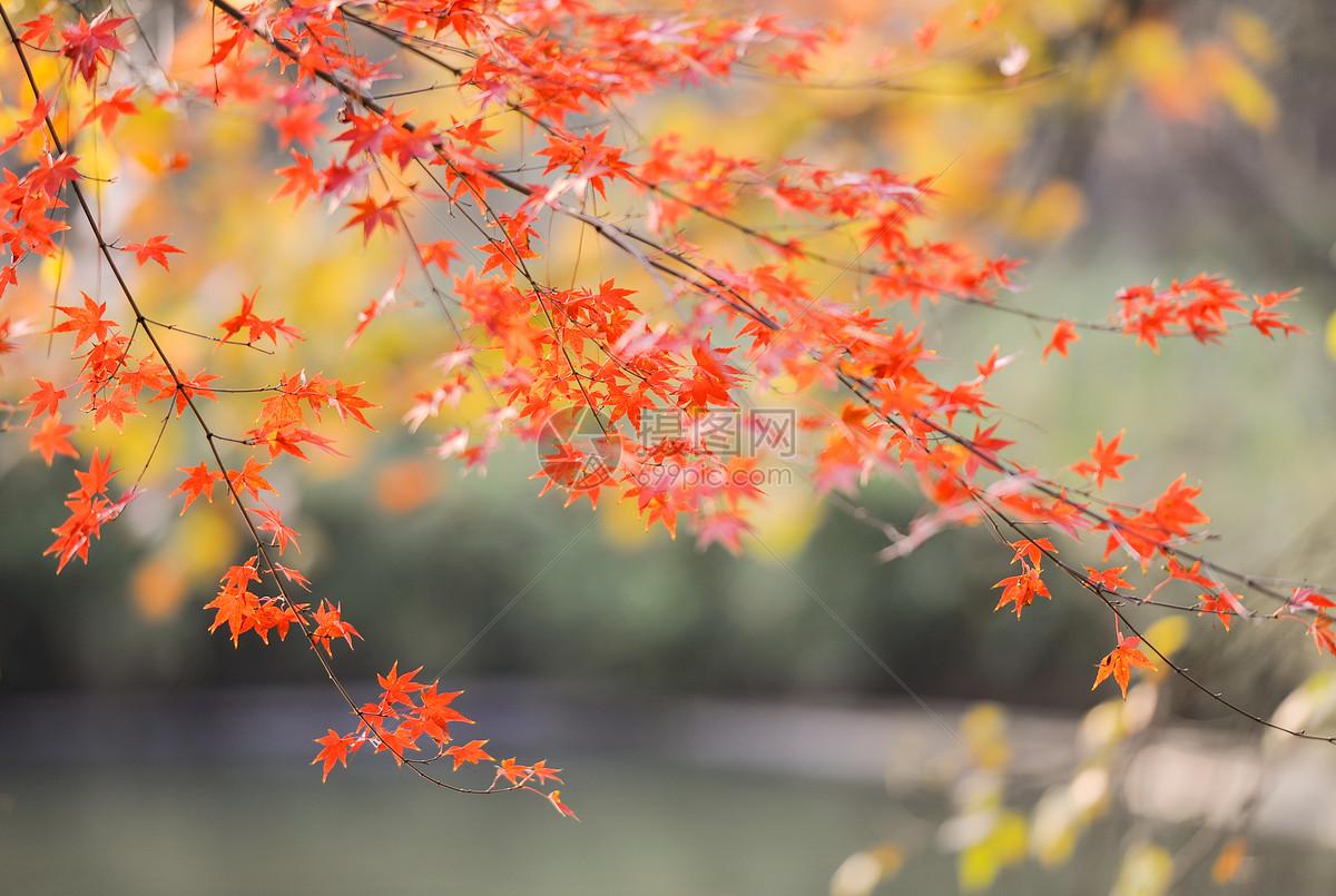 唯美图片 自然风景 秋天枫叶jpg