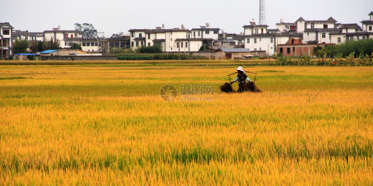 稻田丰收季节