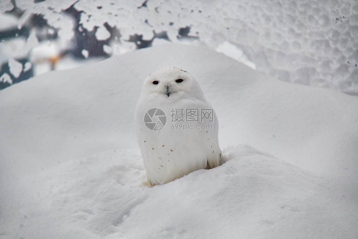 图片 照片 自然风景 日本北海道旭川动物园猫头鹰.