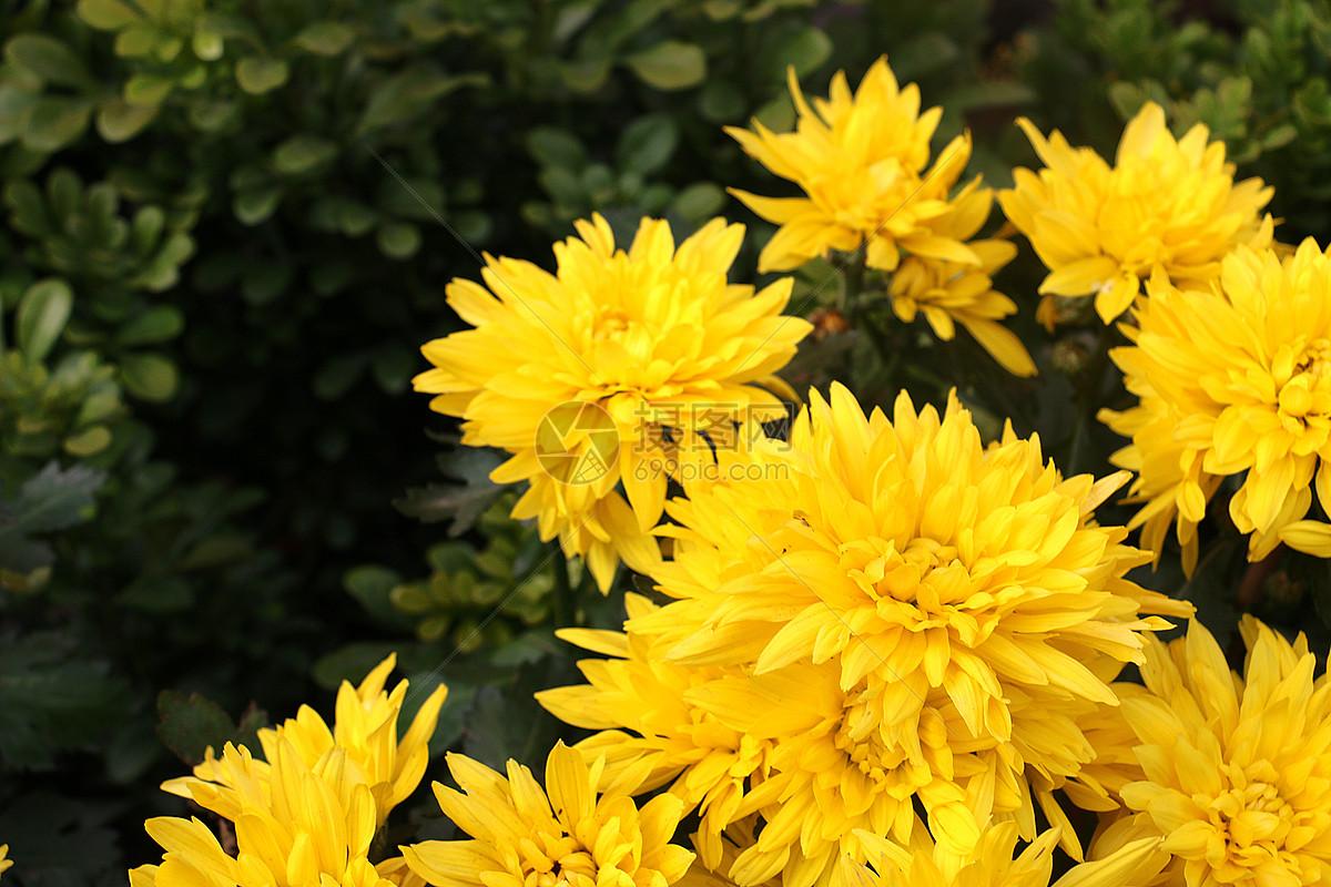 金菊花图片