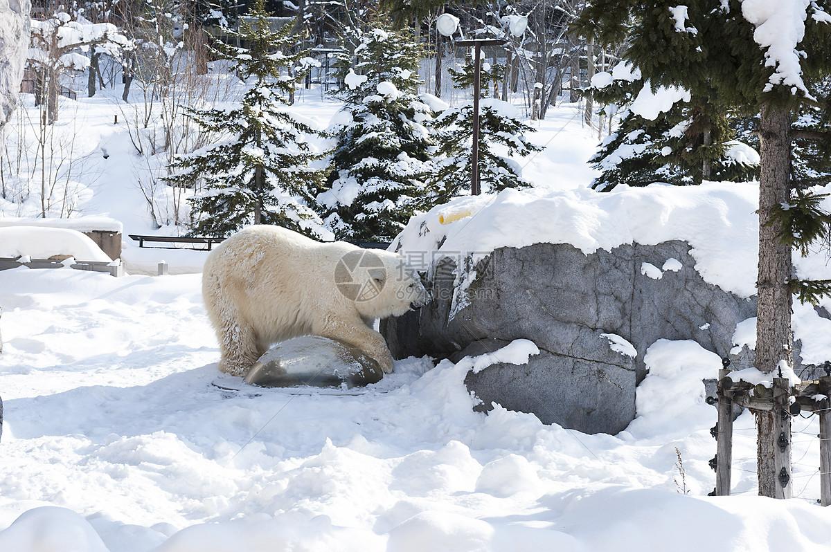 日本旭川动物园北极熊