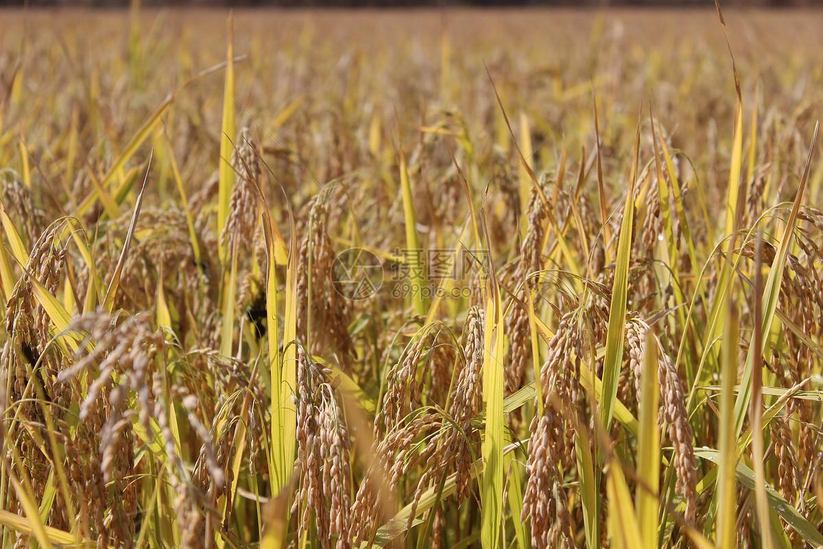 照片 自然风景 农村水稻成熟jpg