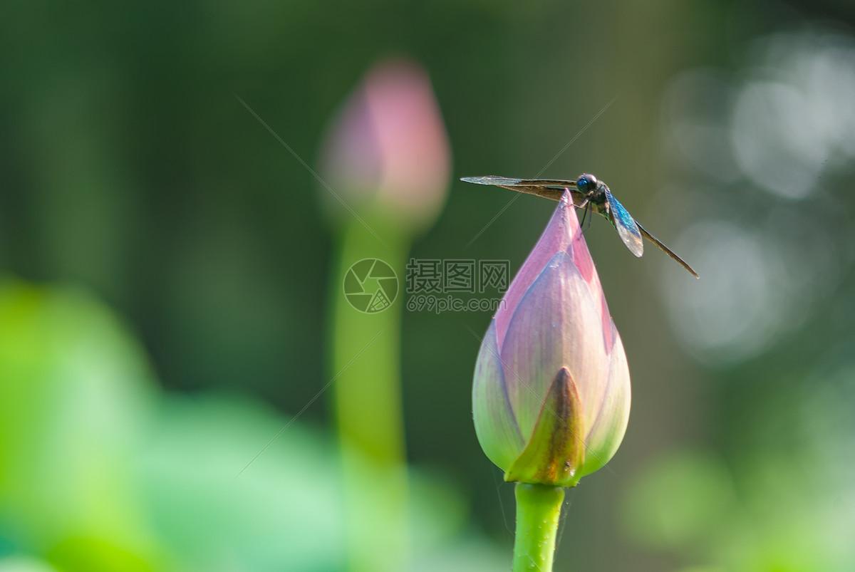 夏日停在荷花花朵上的蜻蜓图片