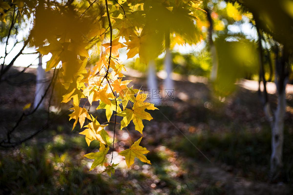秋色的红黄枫叶图片