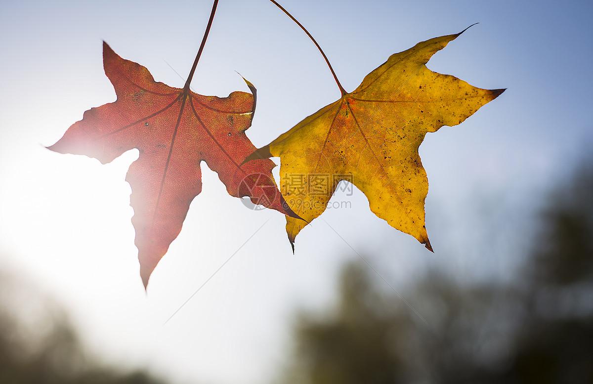 秋天的红黄枫叶图片