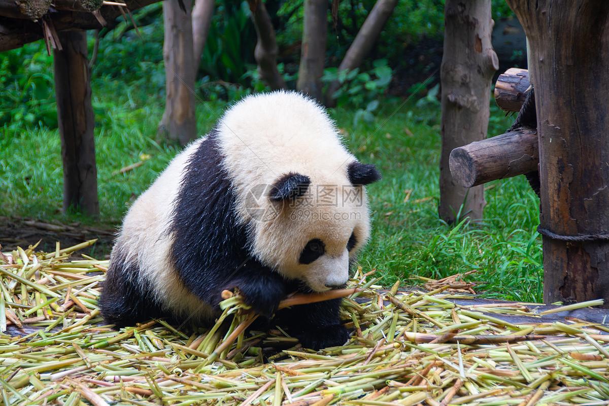 玩耍的大熊猫图片