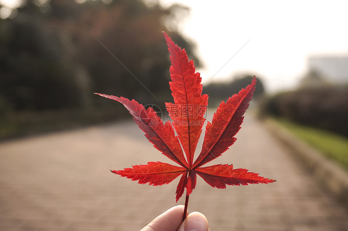 捡起一片深红色枫叶知秋意图片