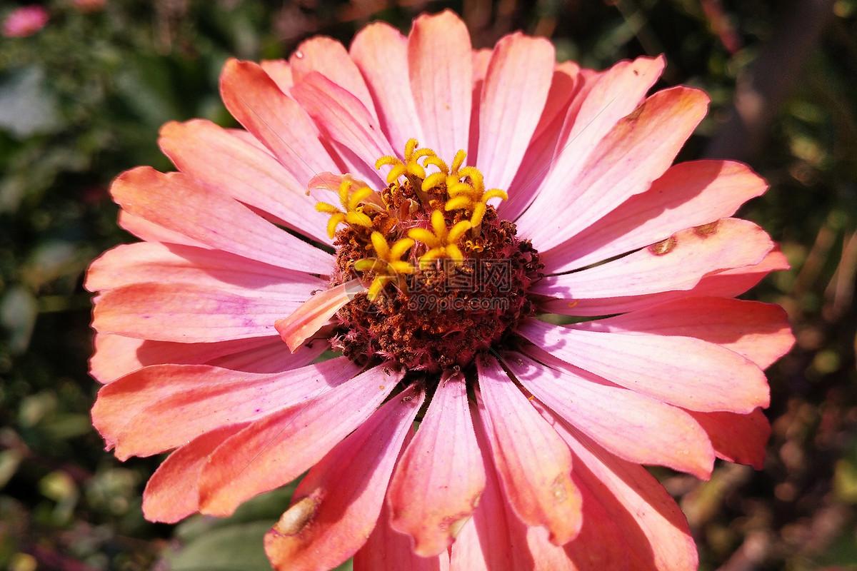 秋天花园里枯萎的菊花花朵图片
