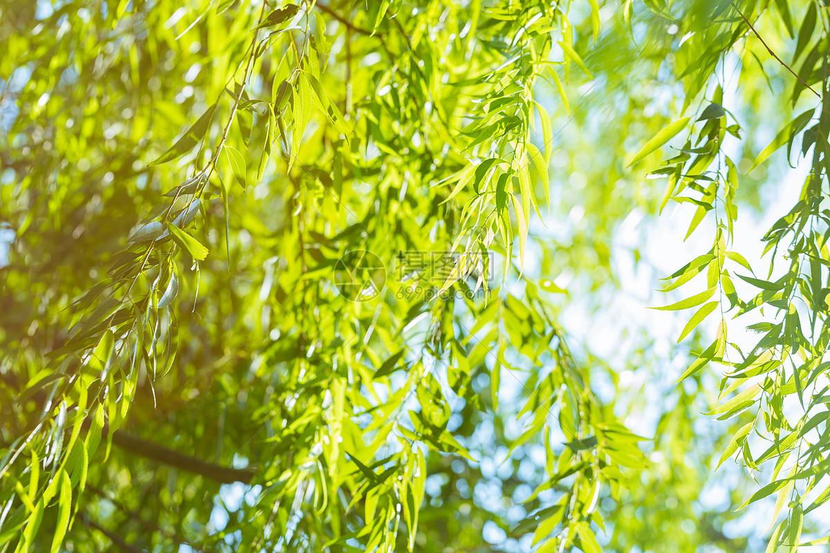 柳树叶图片