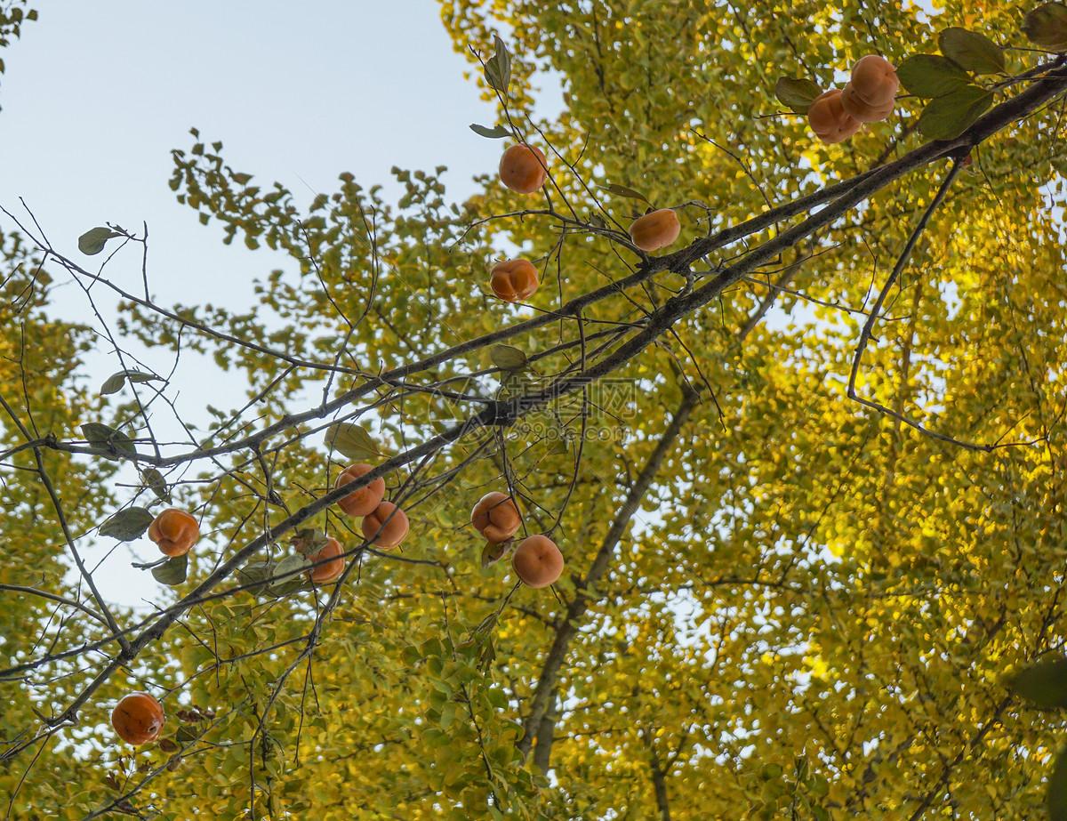 北京公园的柿子图片