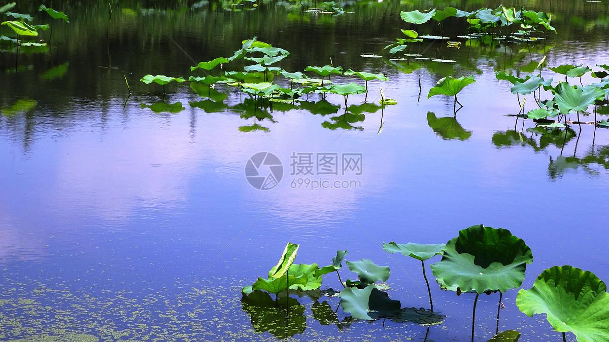 夏日荷塘图片