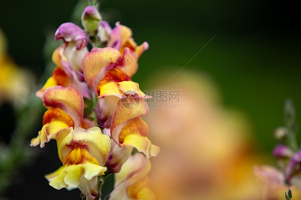黄色金鱼草花图片