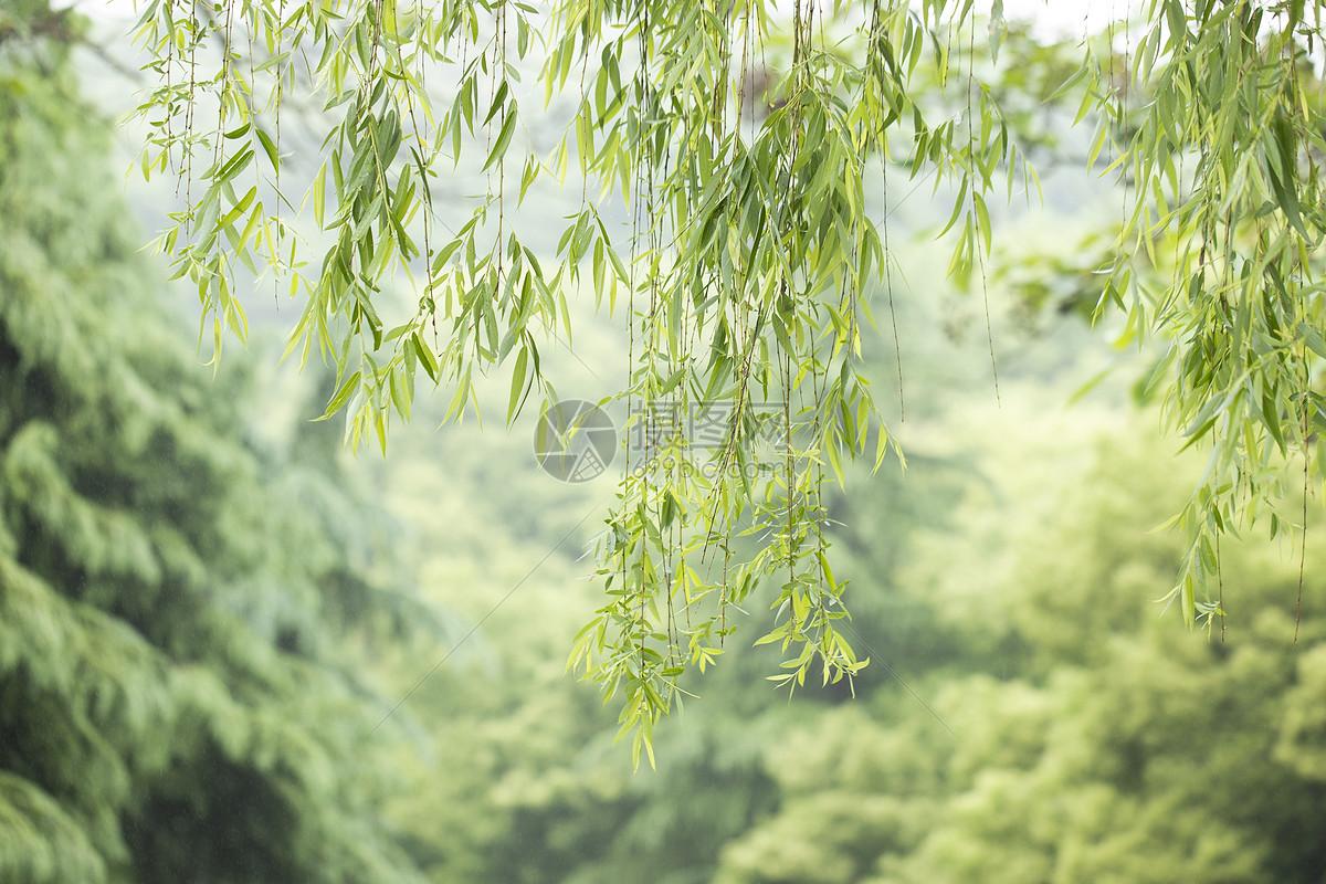 春天的垂柳图片