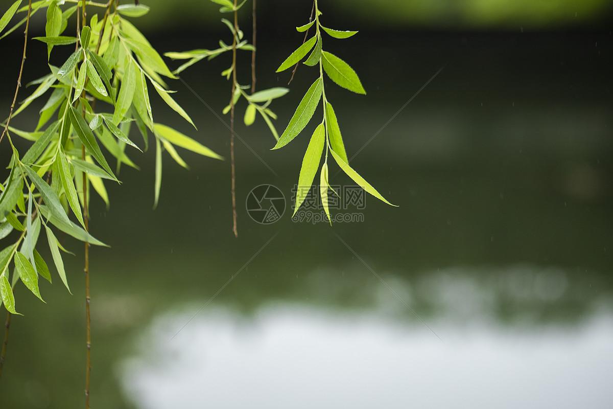 湖边的垂柳图片