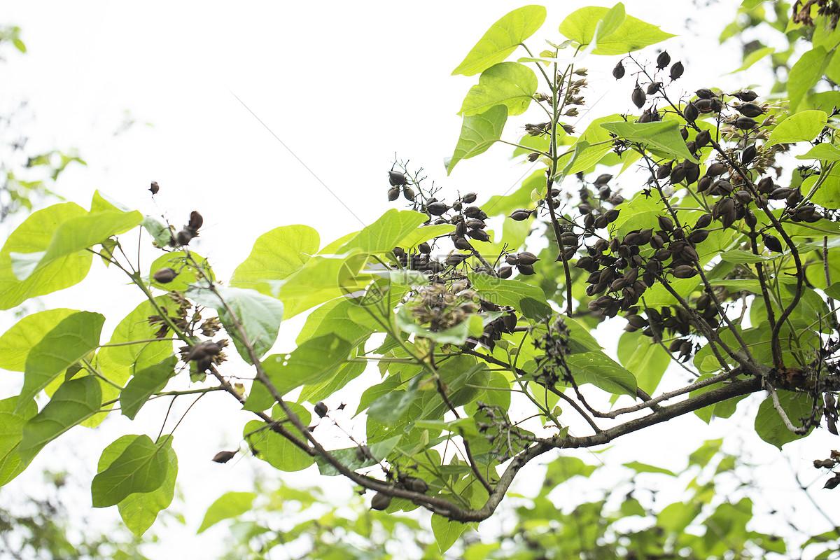 春天的树叶图片