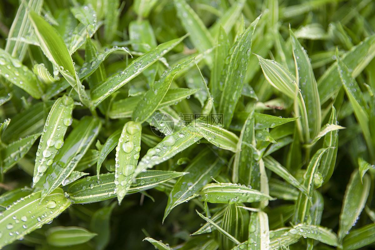 春天的竹叶图片