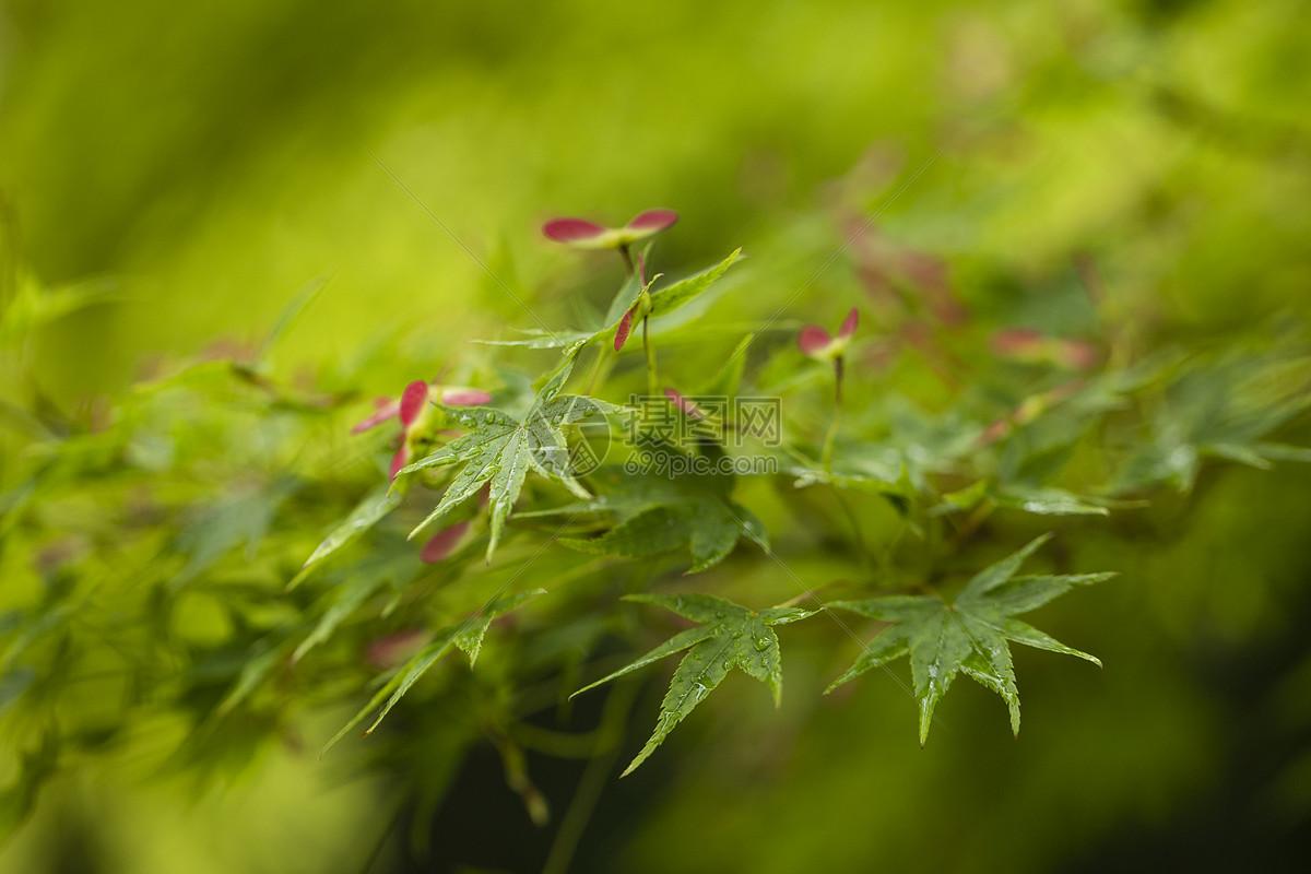 春天的枫叶图片