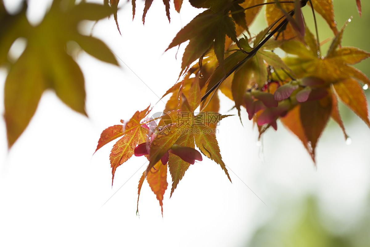 春天的红色枫树叶图片