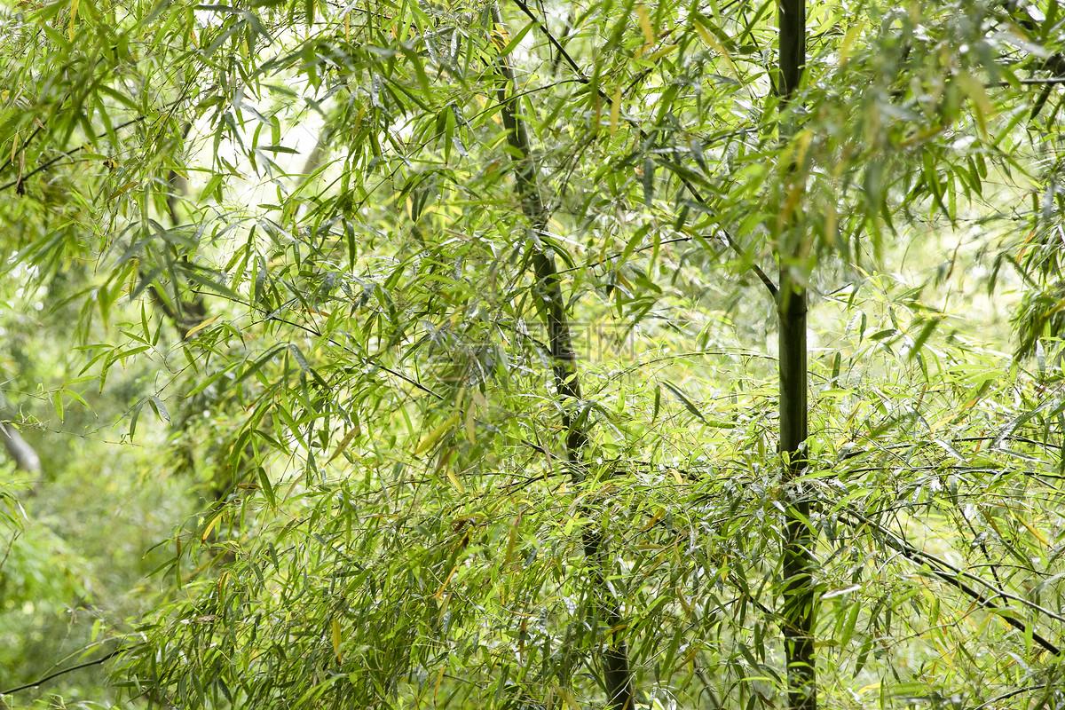 夏季竹林图片