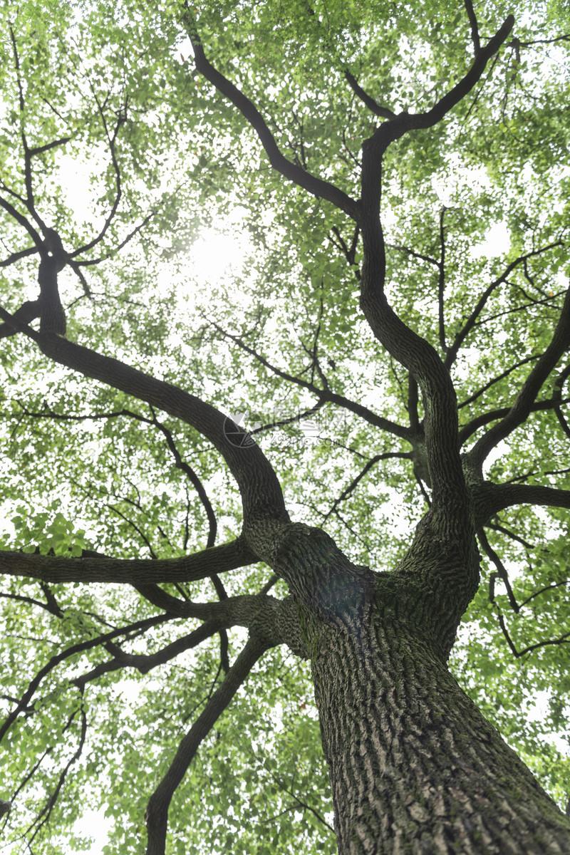 枝繁叶茂的大树图片