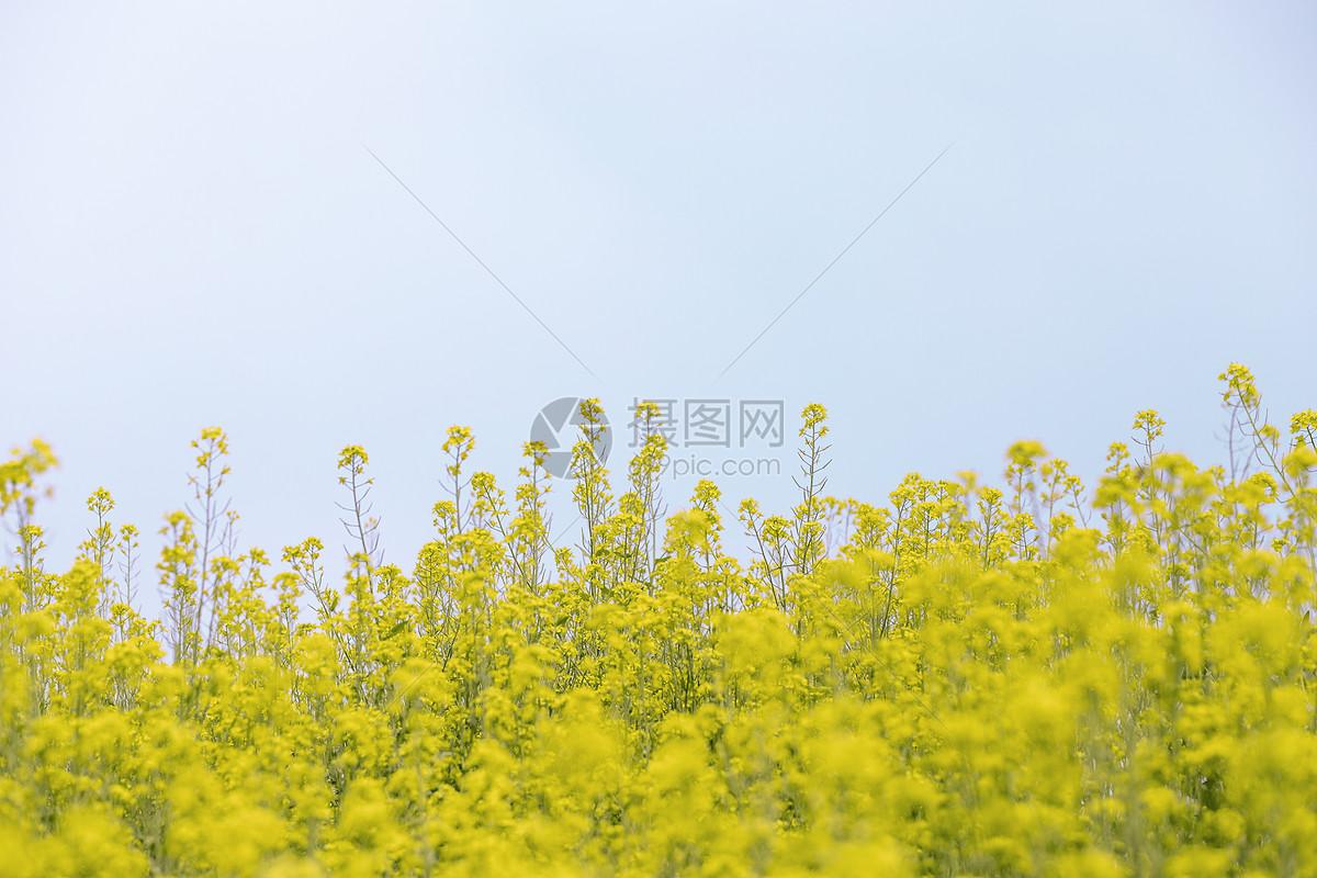 安徽油菜花图片